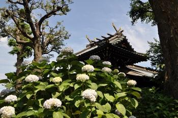 ■白山神社アジサイ-009■.jpg